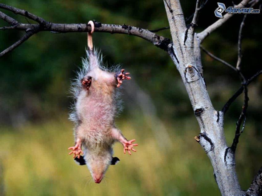 opossum, tree