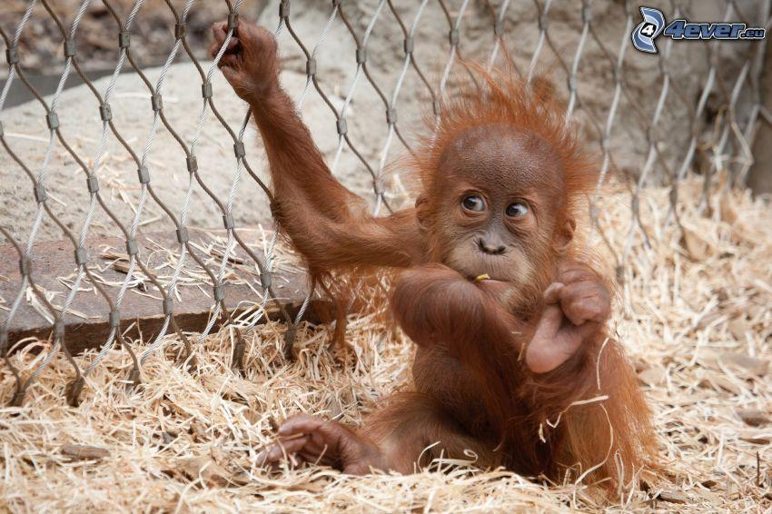 orangutan, cub, fence