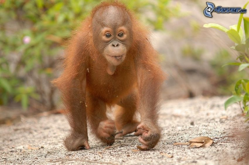 orangutan, cub