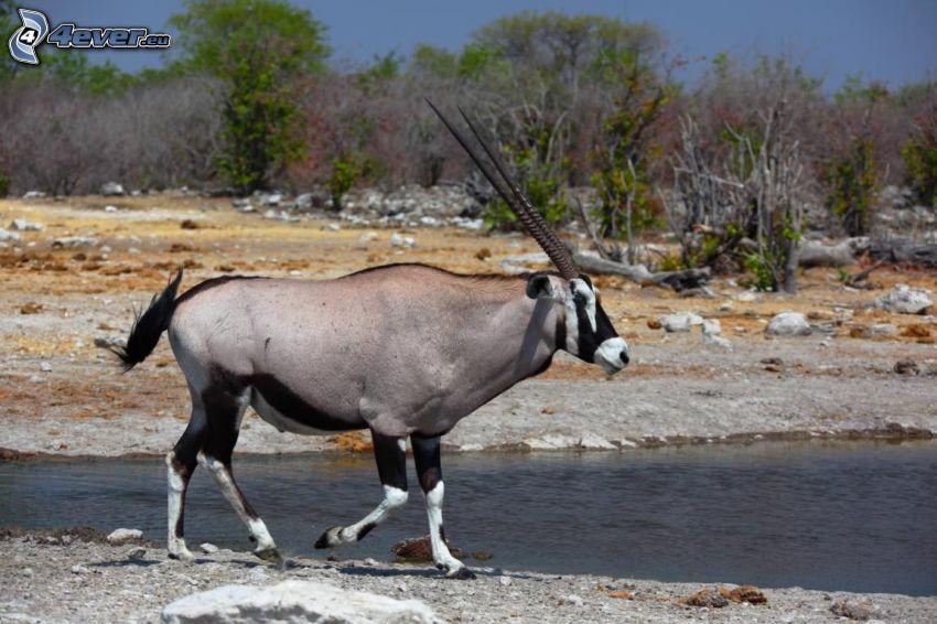 oryx, River, bushes