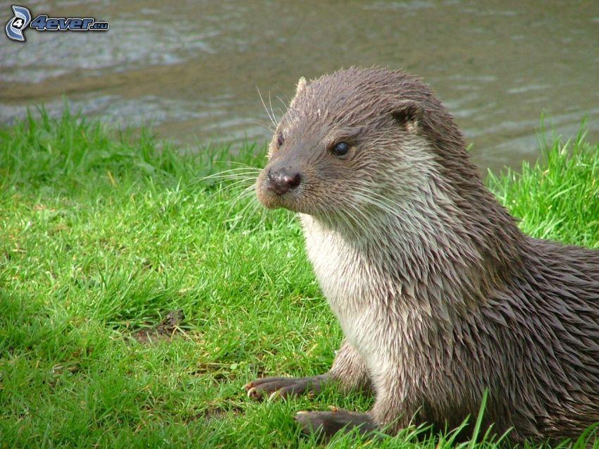 otter, grass, River
