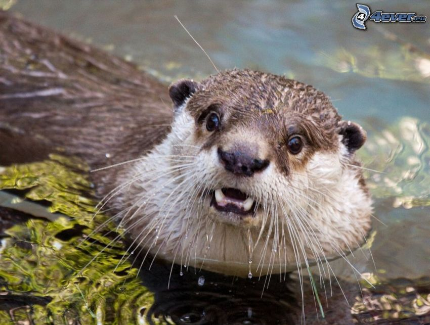 otter, water