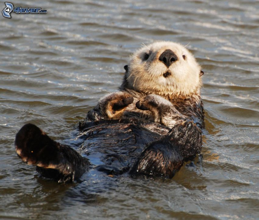 otter, water surface