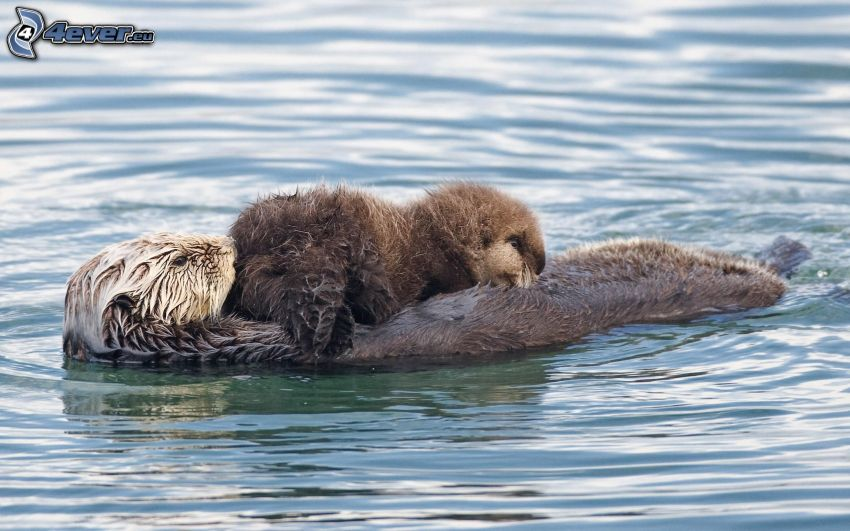 otters, cub, water surface