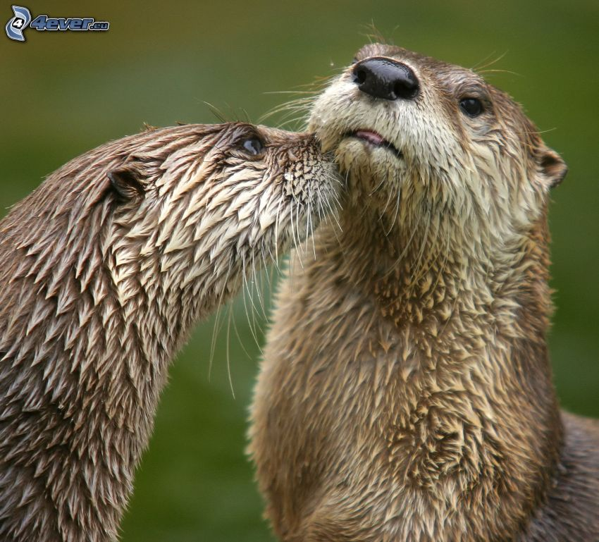 otters, kiss