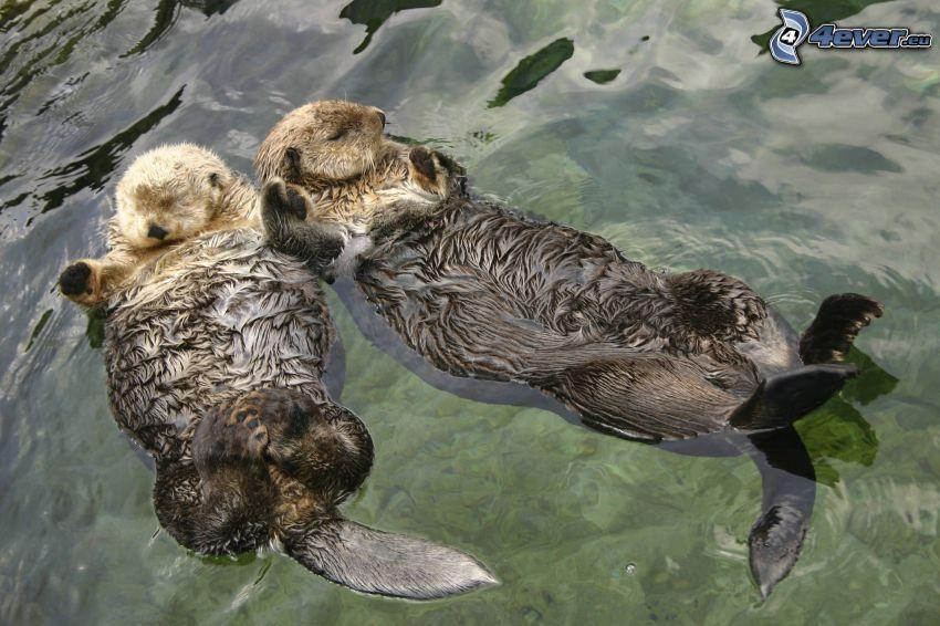 otters, sleep, couple