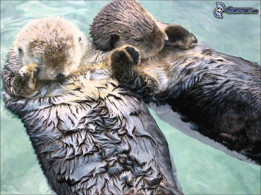 otters, sleep, rest, couple