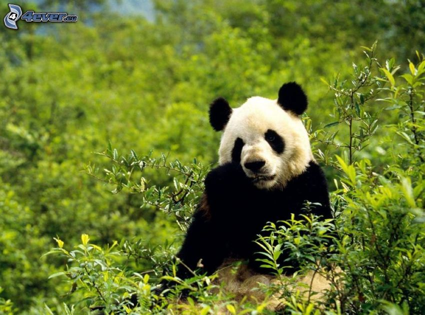 panda, greenery