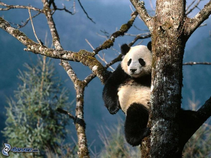 Panda in the tree
