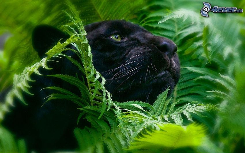 panther, ferns