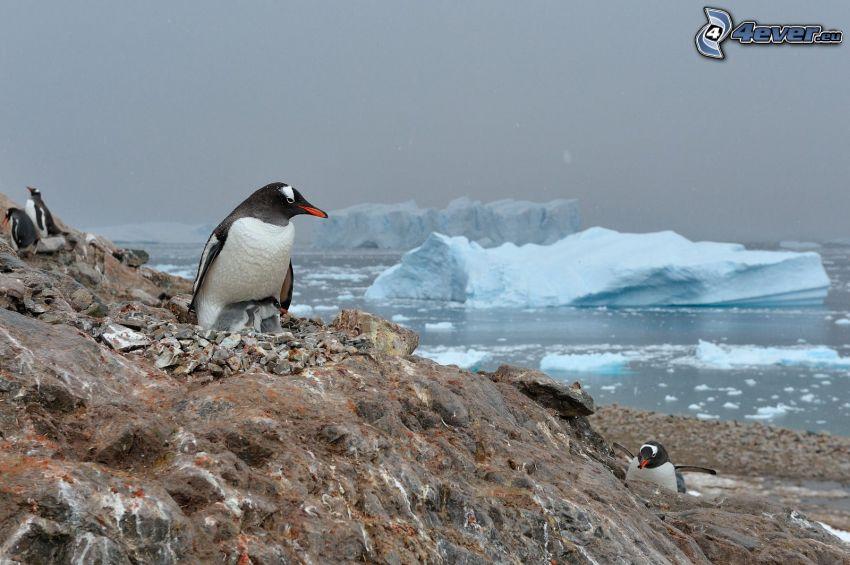 penguin, cubs, rocks, Arctic Ocean, glaciers