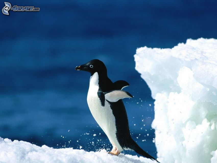 penguin, wings, snow