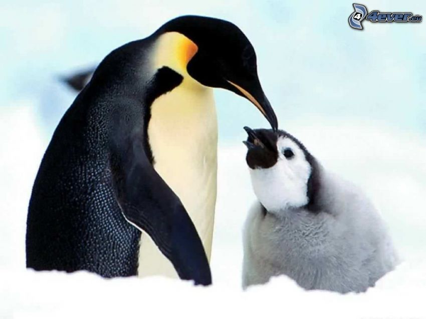penguin and its offspring, glaciers, snow