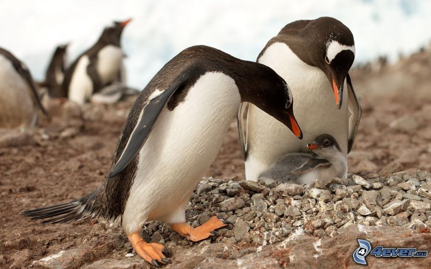 penguin and its offspring