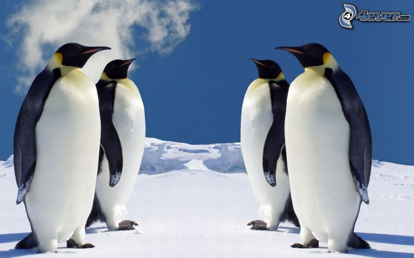 penguins, Antarctica, winter, snow