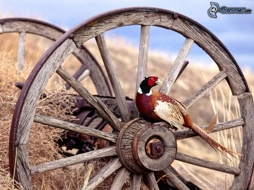 pheasant, carriage, wheel
