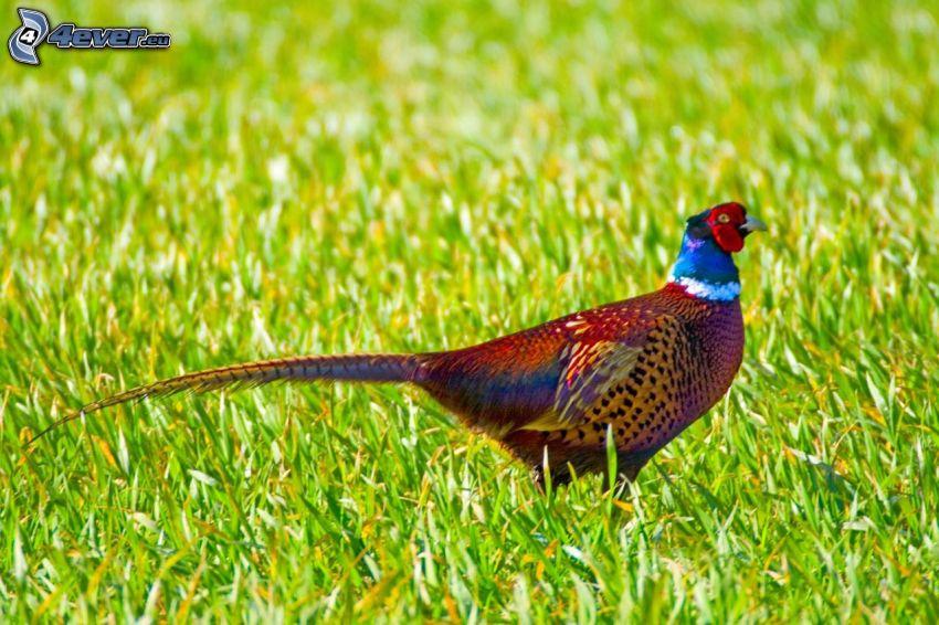 pheasant, grass