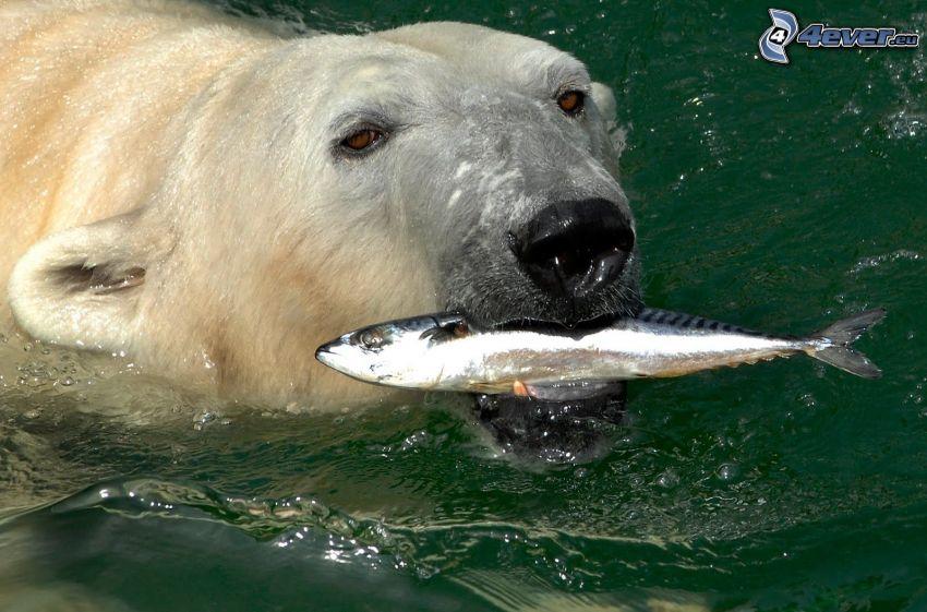 polar bear, fish, water