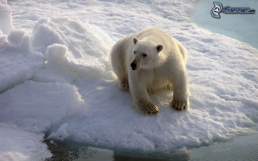 polar bear, glacier