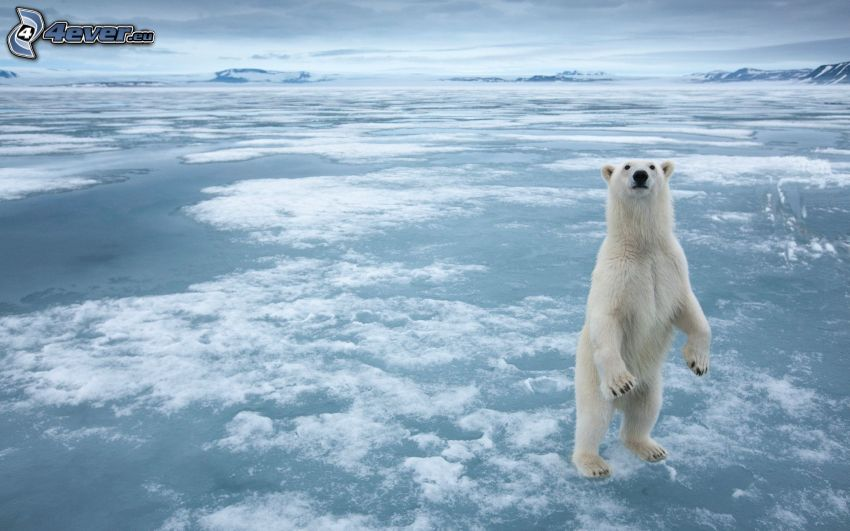 polar bear, iceberg