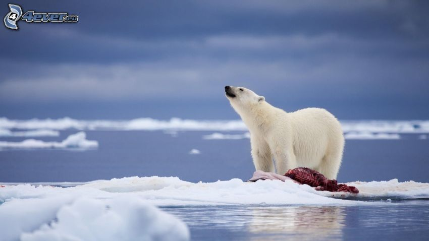 polar bear, meat, ice floe