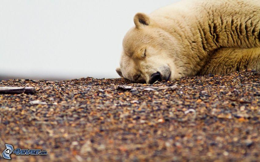 polar bear, sleep, gravel