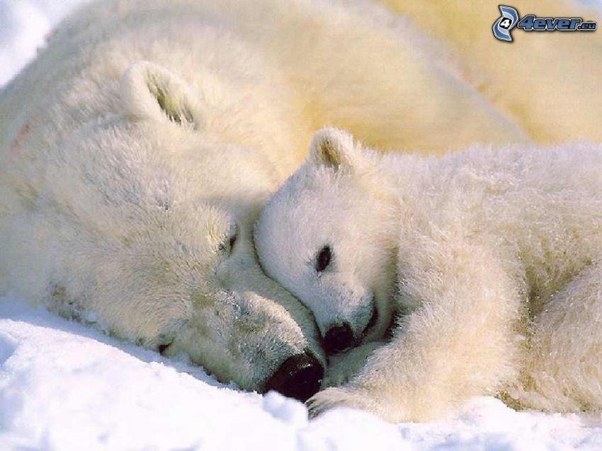 polar bears, cub, love, rest, winter, North Pole, snow