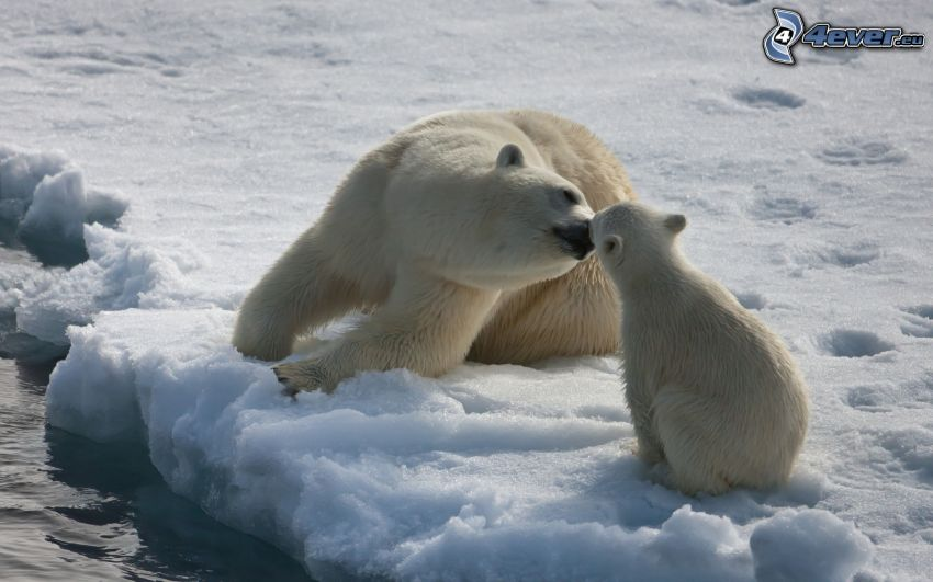 polar bears, cub, snow