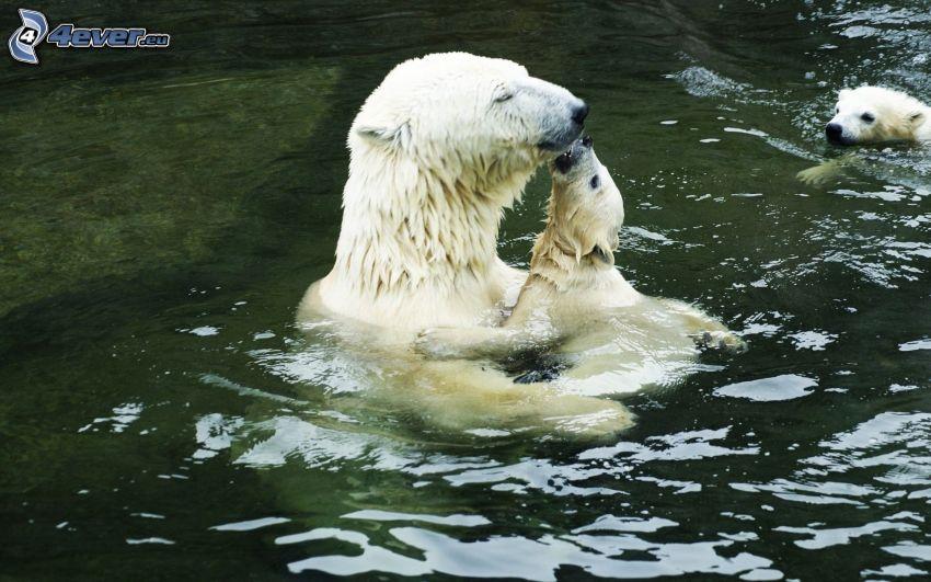 polar bears, cub, water, kiss