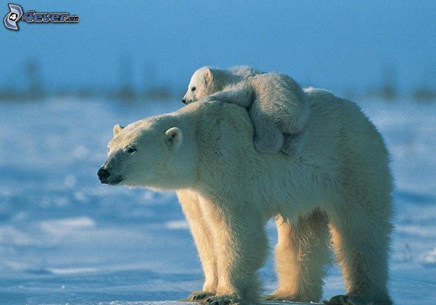 polar bears, cub
