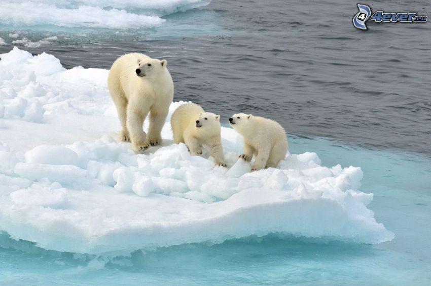 polar bears, cubs, iceberg, Arctic Ocean
