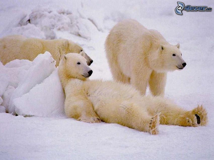polar bears, rest, snow, winter, North Pole