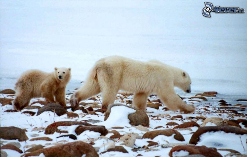 polar bears, winter, rocks, wilderness