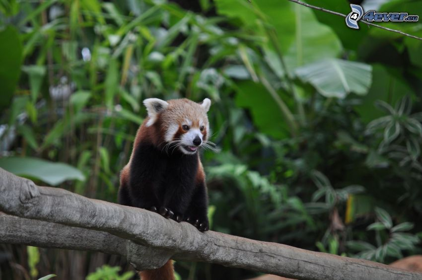 red panda, greenery