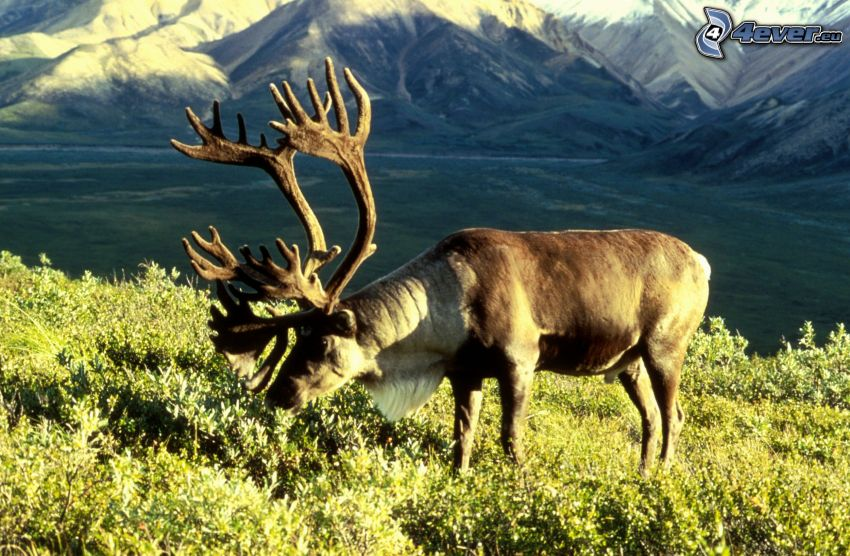reindeer, valley, greenery