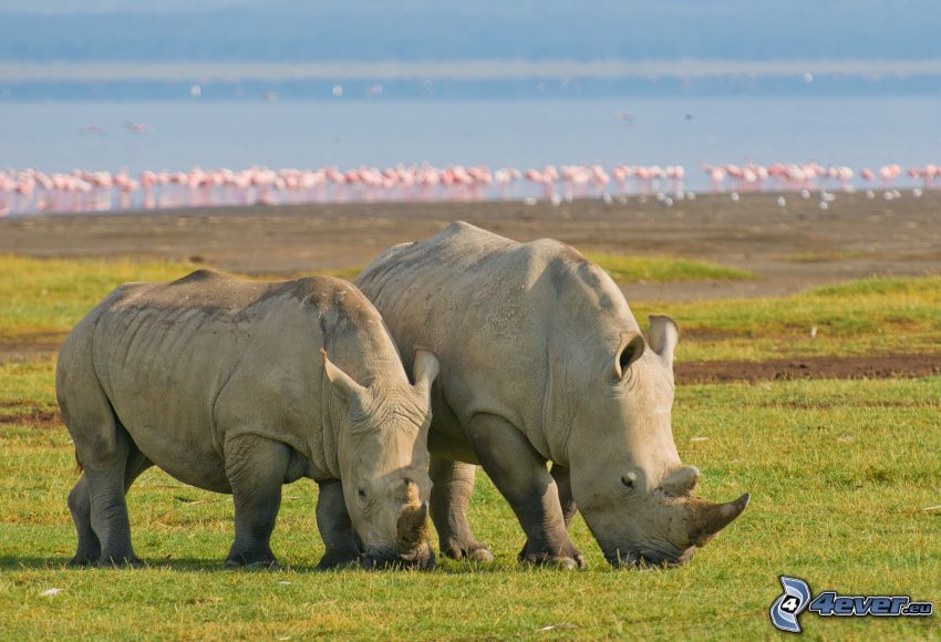 rhinoceros, Nakuru, lake, flamingos