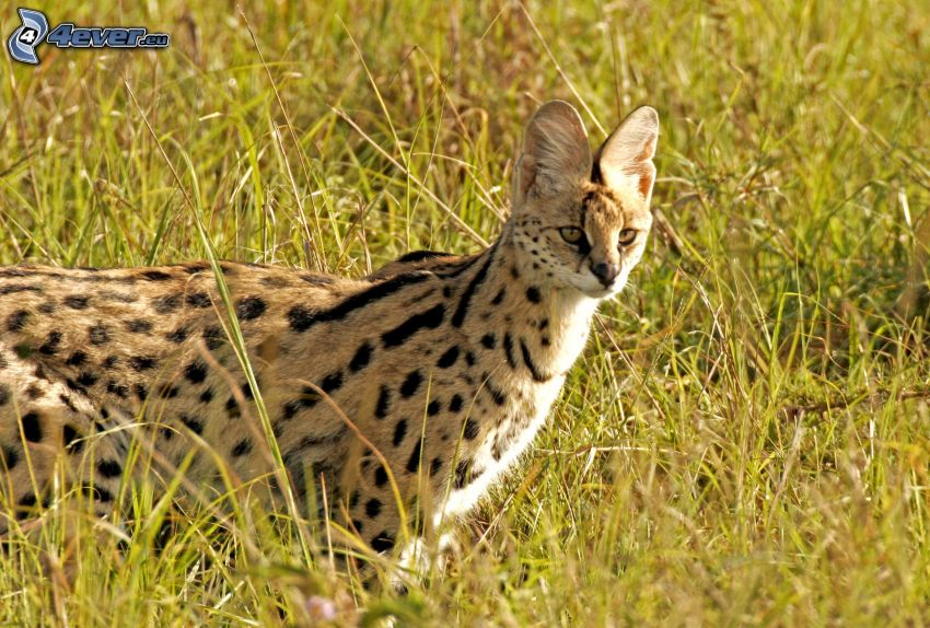 Serval, high grass