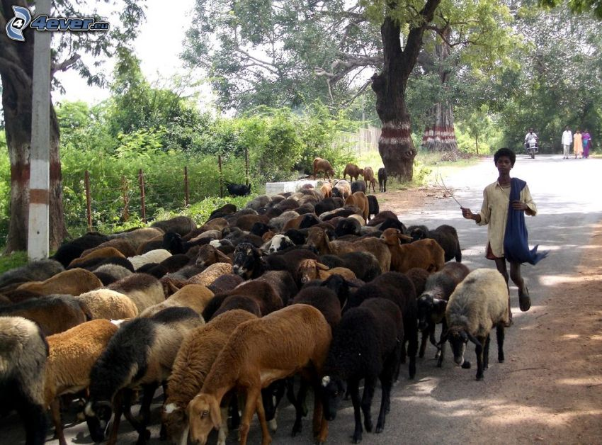 sheep, shepherd, black man, field path