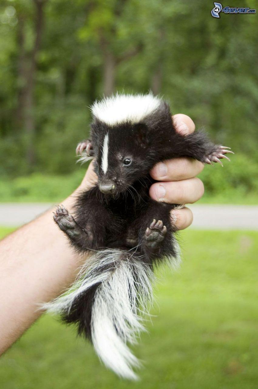 skunk,-cub,-hand-244254.jpg
