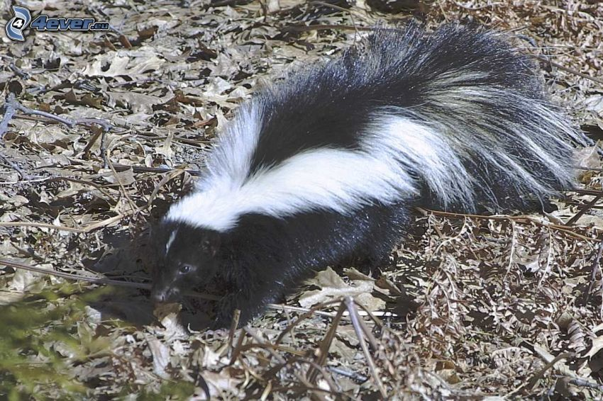 skunk, dry leaves