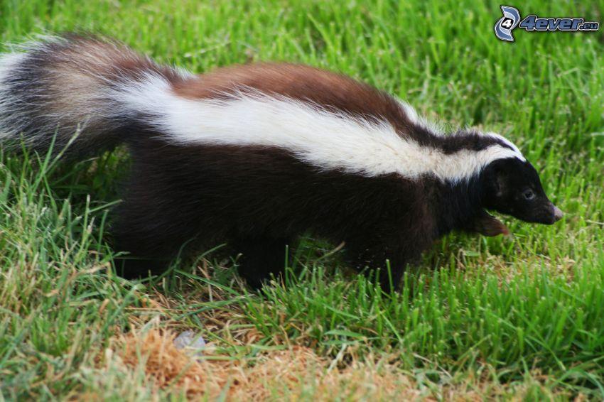 skunk, grass