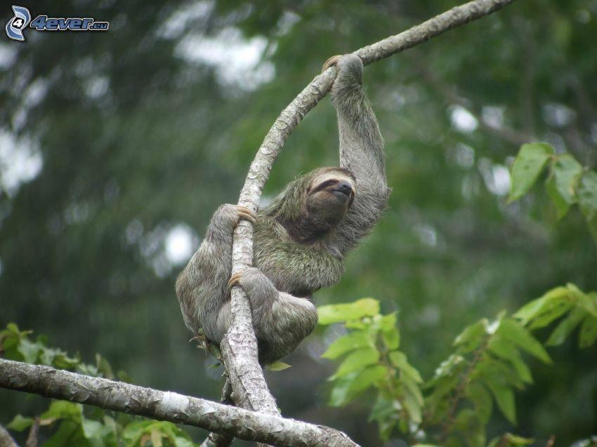 sloth, branch