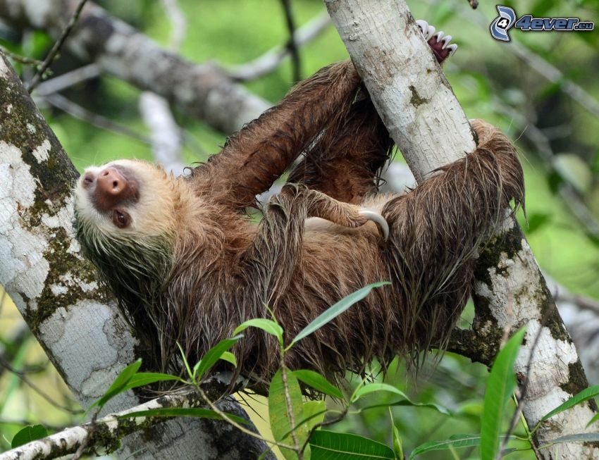 sloth, branches, green leaves