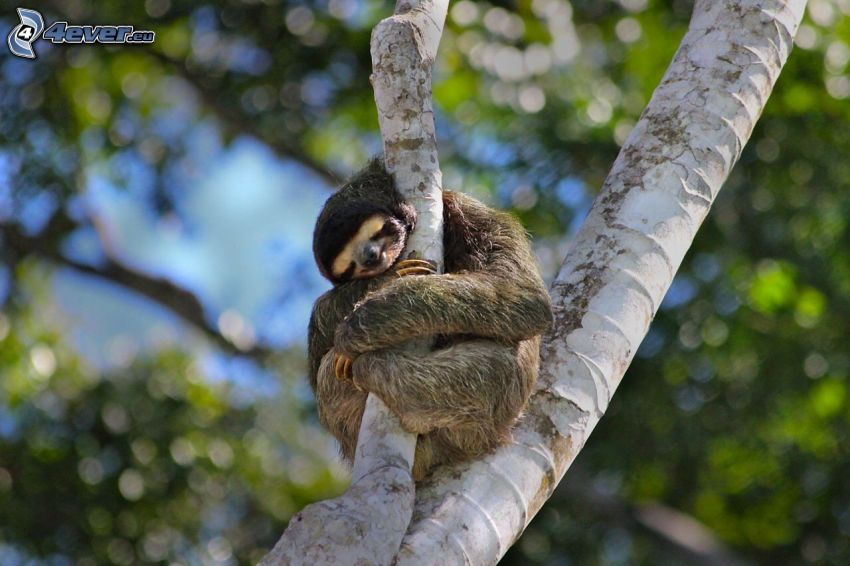 sloth, branches, hug