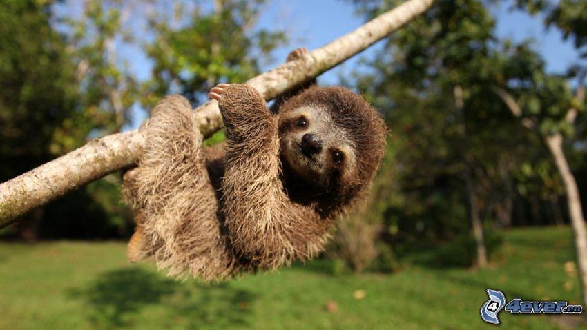 sloth, cub, branch