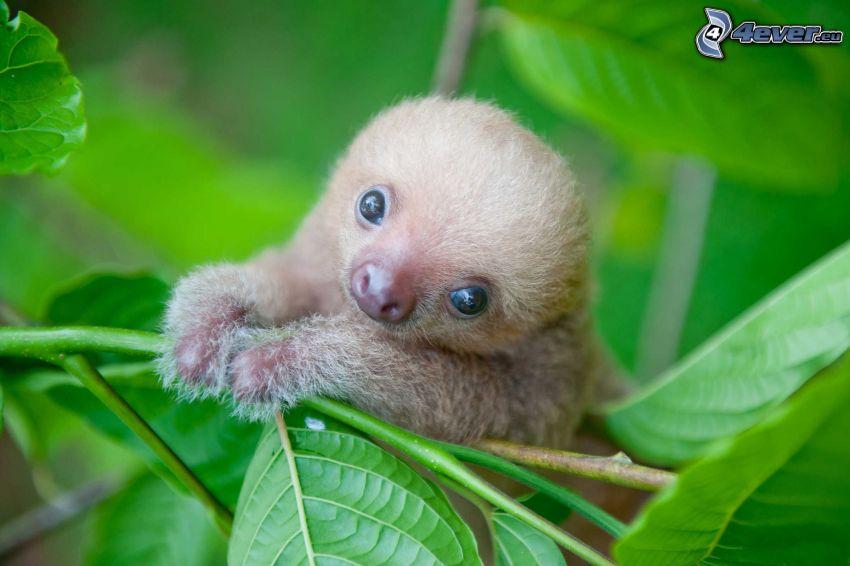 sloth, cub, green leaves