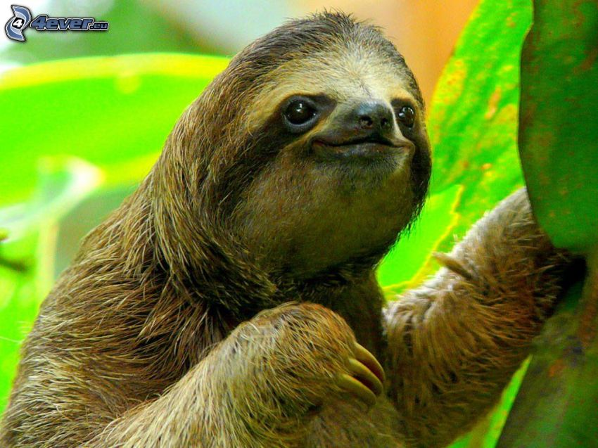sloth, green leaves