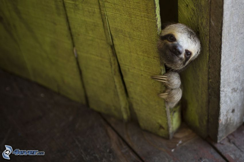 sloth, old door