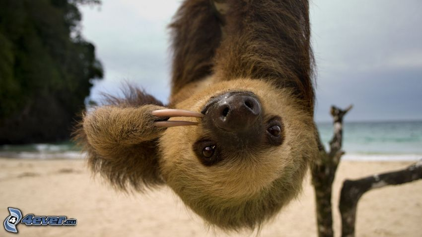 sloth, sea, sandy beach