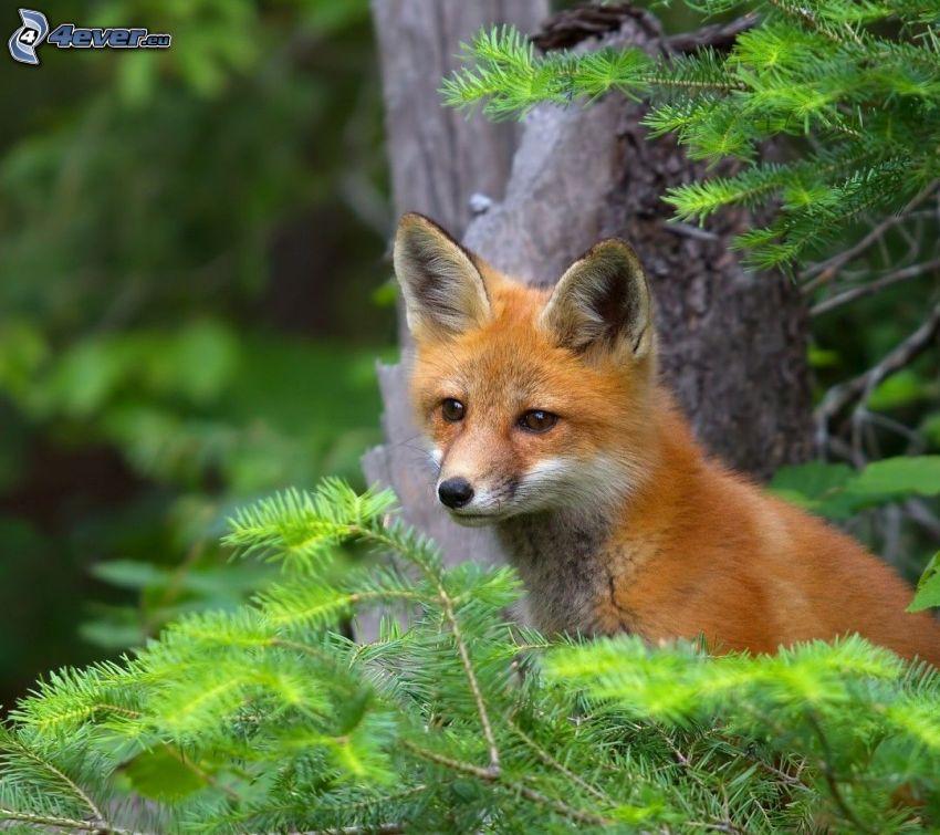 small fox, conifer twig